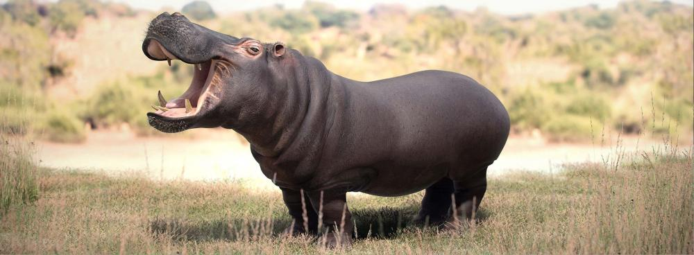 Hippopotamous_Final_Ambient.jpg